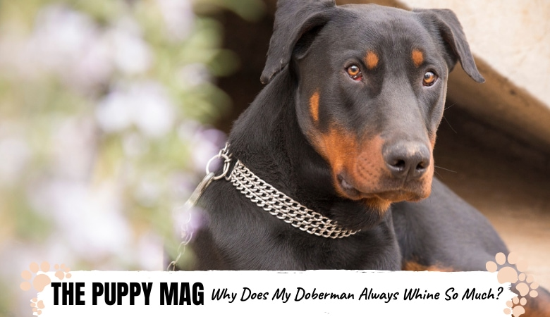 why-does-my-doberman-whine