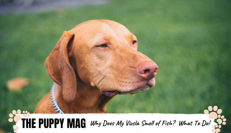 Why Does My Vizsla Smell Like Fish: Causes & Solutions