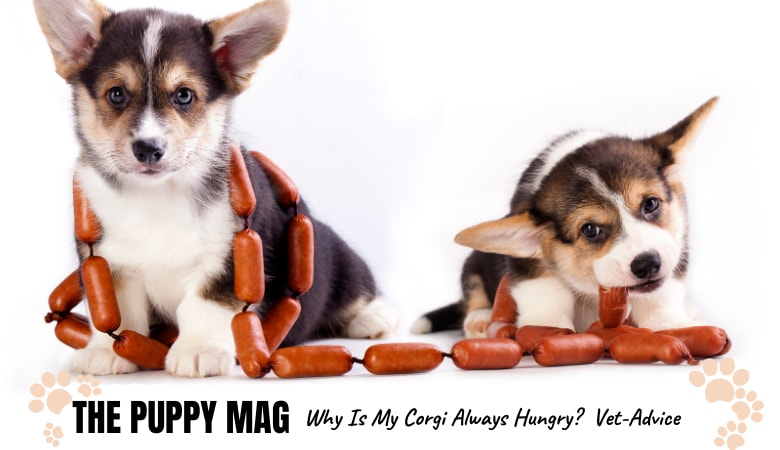 why-is-my-corgi-always-hungry.png