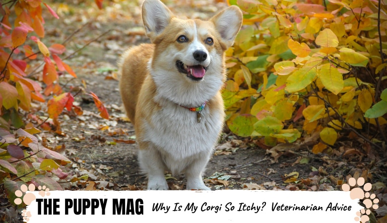 why-is-my-corgi-so-itchy