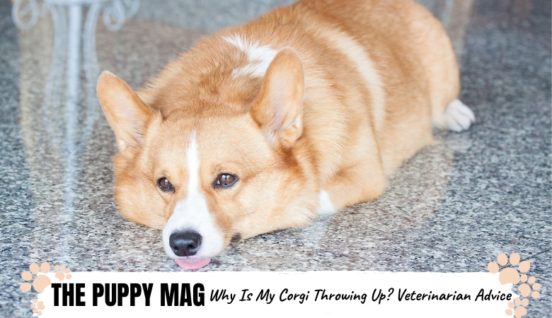 why-is-my-corgi-throwing-up.png