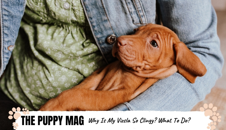 Why Is My Vizsla So Clingy & Needy? 5 Tips For All Owners