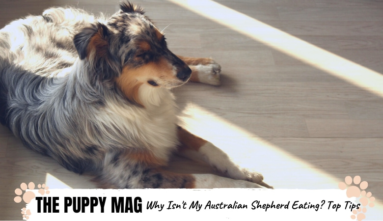 why-wont-my-australian-shepherd-eat.png