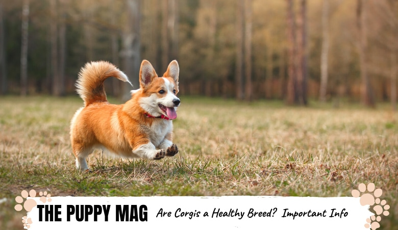 are-corgis-a-healthy-breed.png