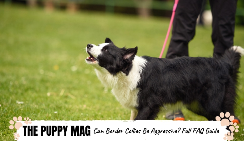 Can Border Collies Be Aggressive? Your FAQs Answered