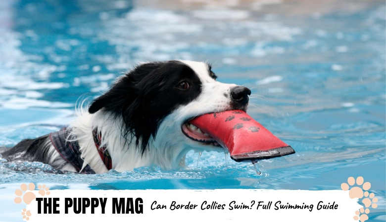 Can Border Collies Swim? Full Swimming Guide For Collies