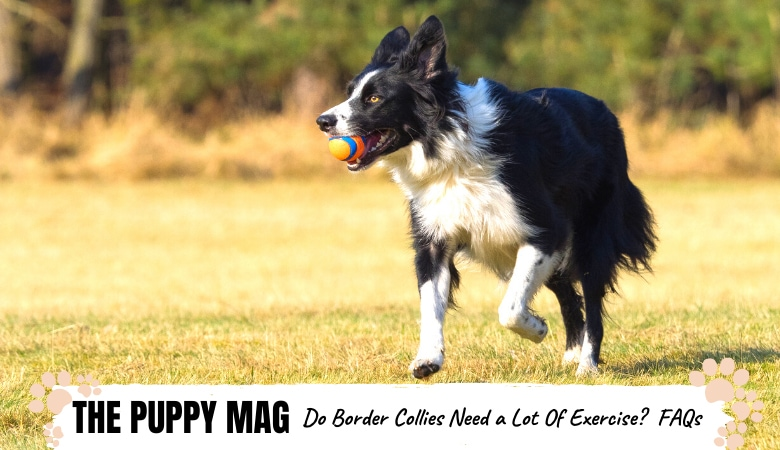 do-border-collies-need-a-lot-of-exercise