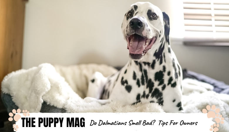 Do Dalmatians Smell Bad? How To Fix Doggy Smell In Dals