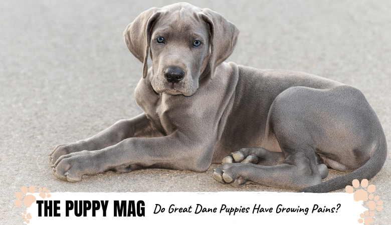 Do Great Dane Puppies Have Growing Pains? Important Info