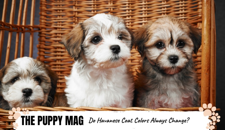 Do Havanese Puppies Change Color? What Owners Should Know