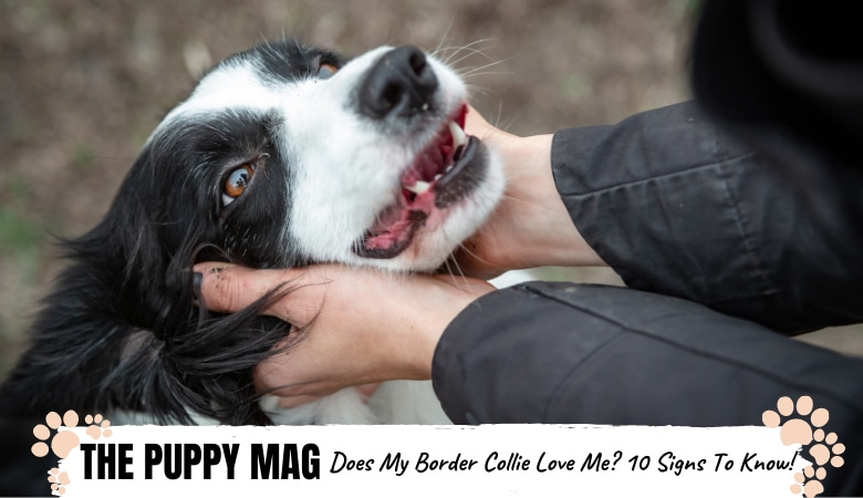 Does My Border Collie Love Me? 10 Real Signs of Affection