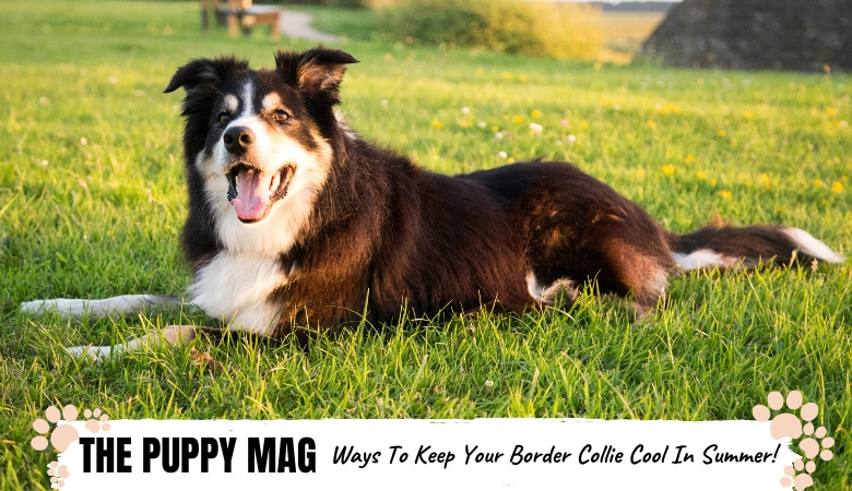 9 Best Ways To Keep Your Border Collie Cool In Summer