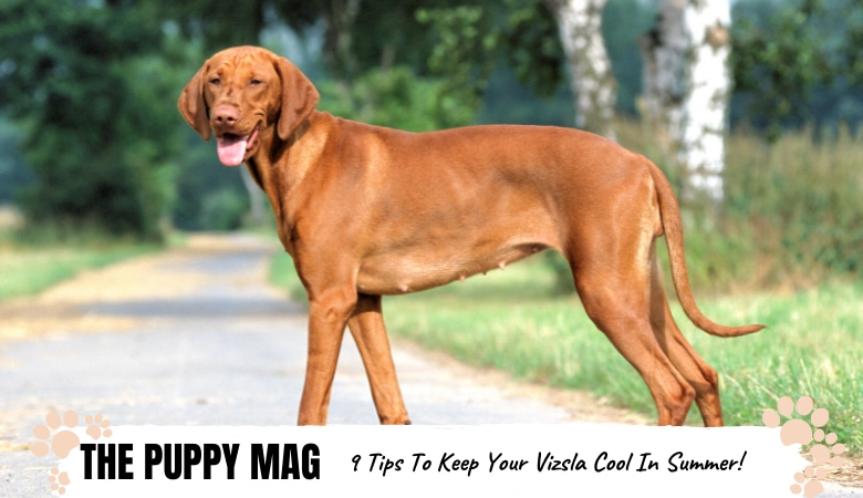 how-to-keep-vizsla-cool-in-summer