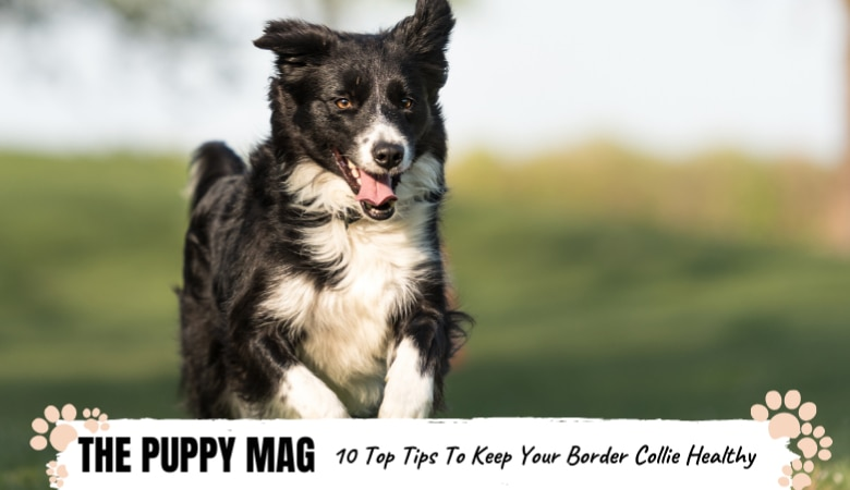 how-to-keep-your-border-collie-healthy.png