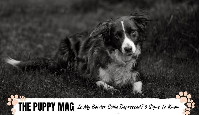 is-my-border-collie-depressed