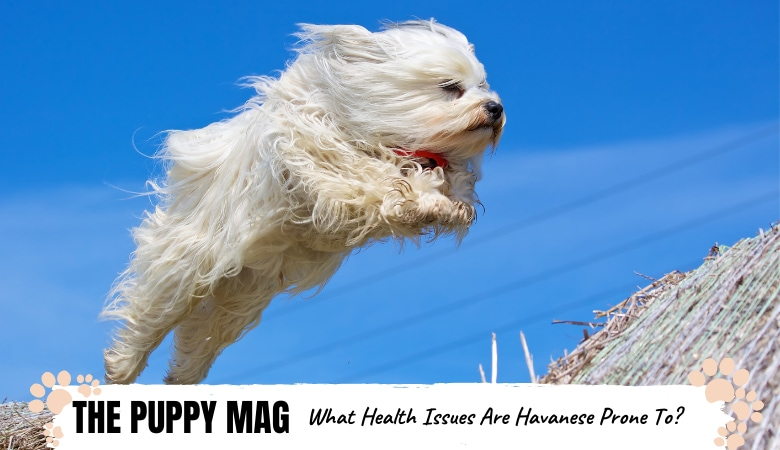 Are Havanese Healthy Dogs? Top Info From a Veterinarian