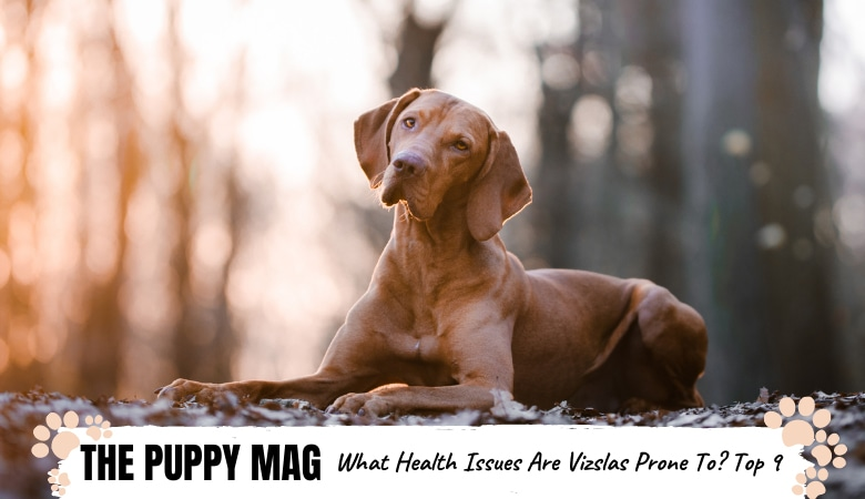 The 9 Common Health Issues That Vizslas Are Prone To