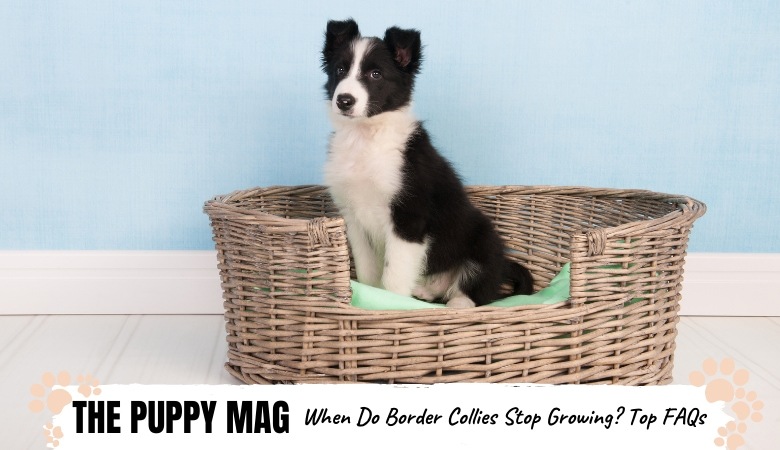 When Do Border Collies Stop Growing & Reach Full Size?