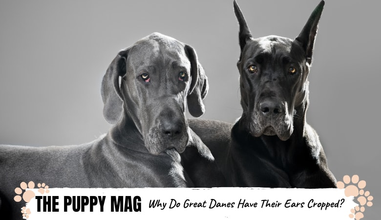 Why Do Great Danes Have Their Ears Cropped: The Truth