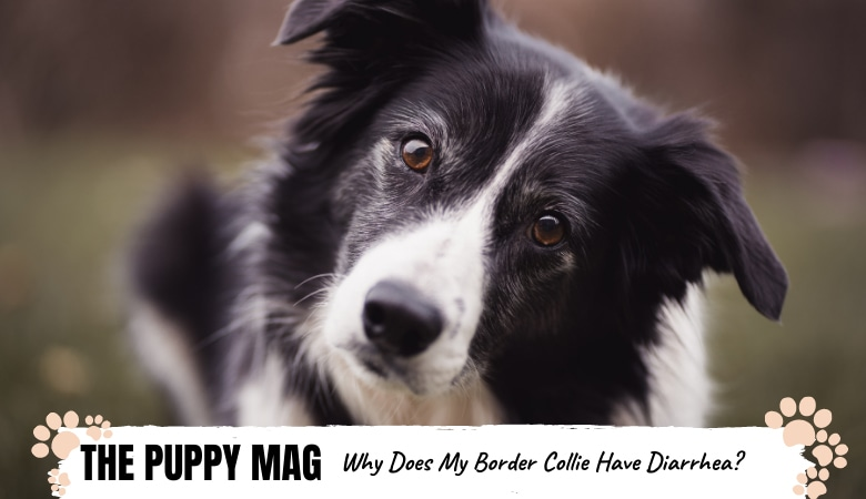 Why Your Border Collie Has Diarrhea: Causes & How To Help