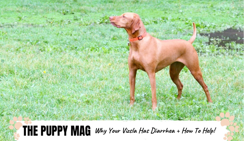 Why Does My Vizsla Have Diarrhea? How To Help