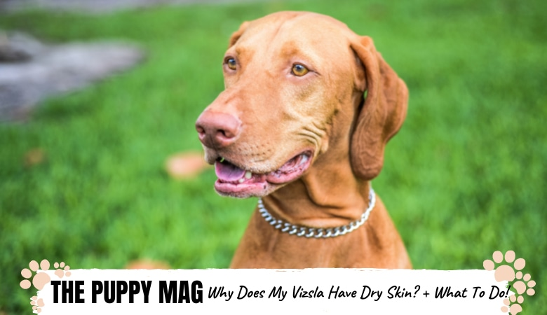 10 Causes of Dry Skin In Vizslas & What To Do: Vet Advice