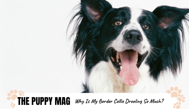 why-is-my-border-collie-drooling.png