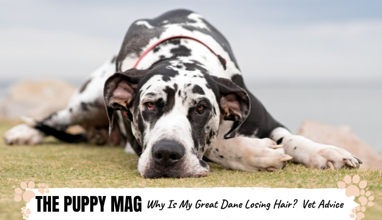 Why Is My Great Dane Losing Hair? 7 Causes & What To Do