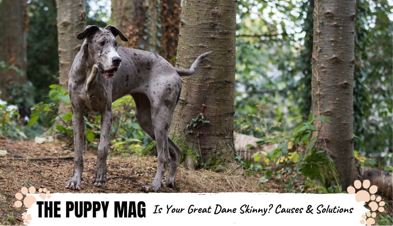 Why Is My Great Dane So Skinny? 7 Reasons & What To Do