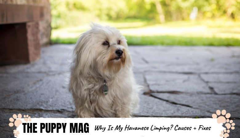 Why Is My Havanese Limping? Causes & What To Do: Vet Tips