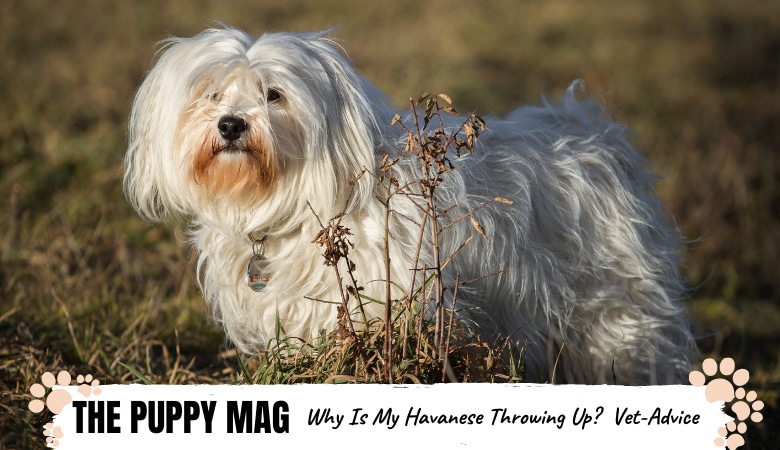 Why Is My Havanese Throwing Up? Causes & What To Do