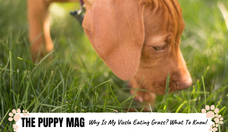Why Is My Vizsla Always Eating Grass? Important Info