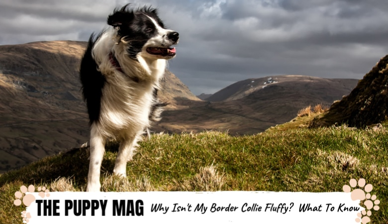 Why Isn't My Border Collie Fluffy? Reasons & What To Do