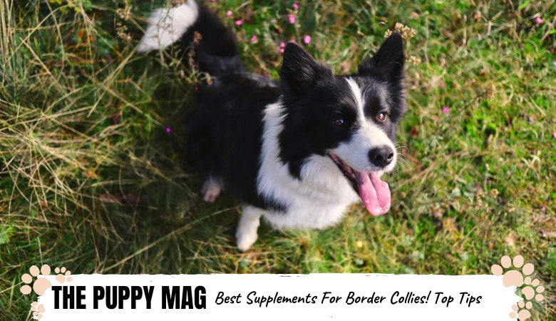 best-supplements-for-border-collies