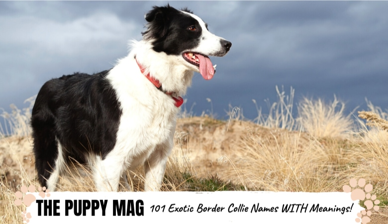 border-collie-names-with-meanings