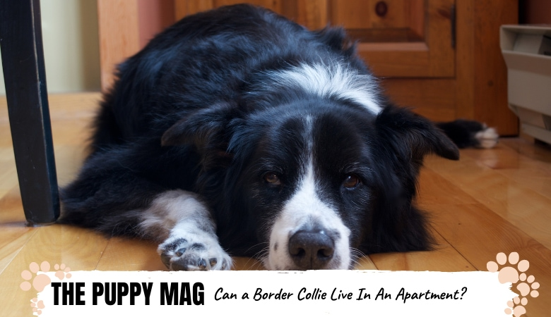 can-a-border-collie-live-in-an-apartment