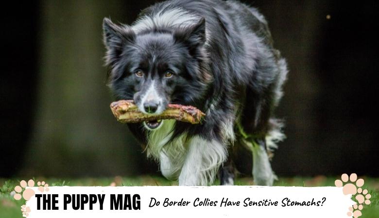 do-border-collies-have-sensitive-stomachs