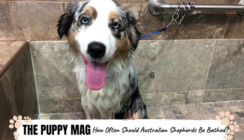 how-often-should-australian-shepherds-be-bathed
