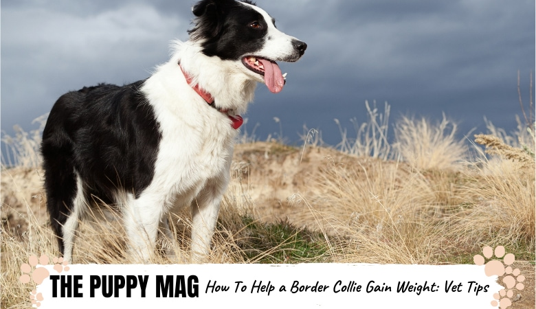how-to-help-border-collie-gain-weight