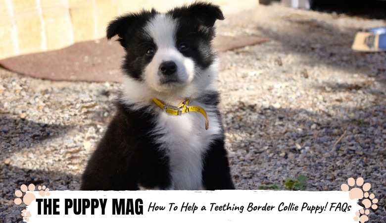 how-to-help-teething-border-collie