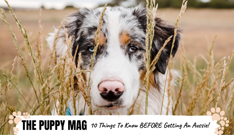 what-to-know-before-getting-an-australian-shepherd