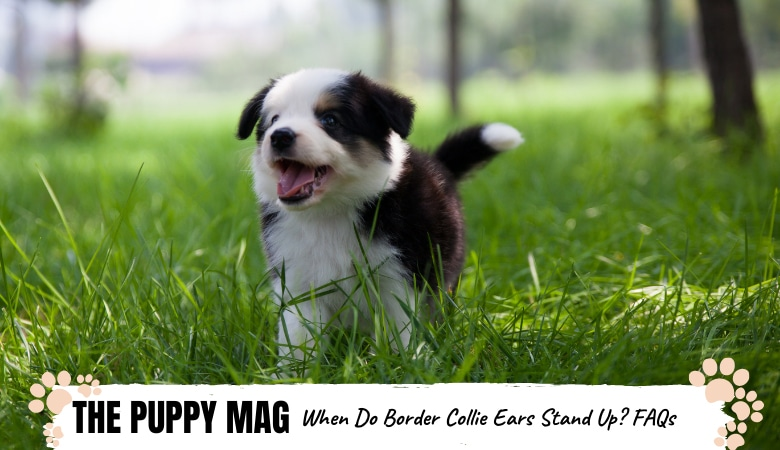 when-do-border-collie-ears-stand-up