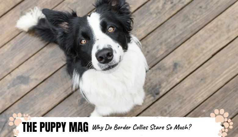 why-do-border-collies-stare-so-much