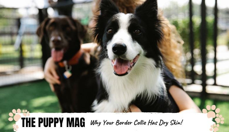 why-does-my-border-collie-have-dry-skin