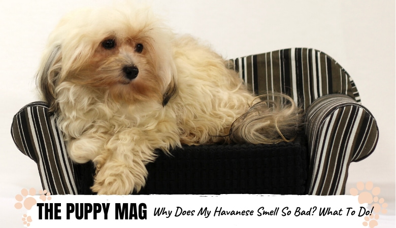 why-does-my-havanese-smell