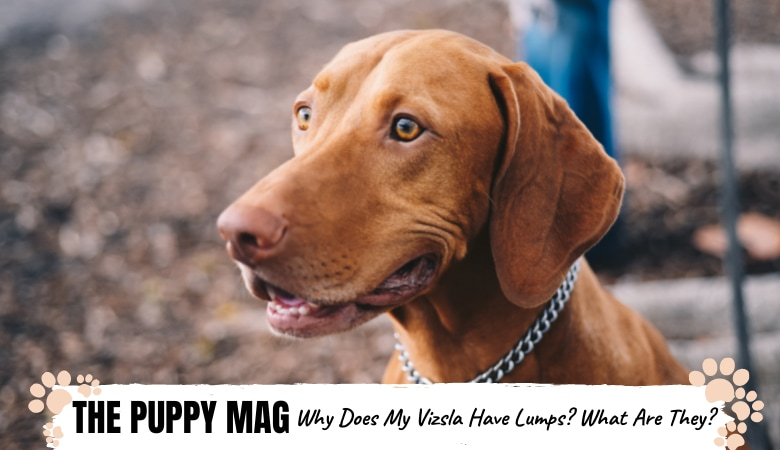 why-does-my-vizsla-have-lumps-on-skin