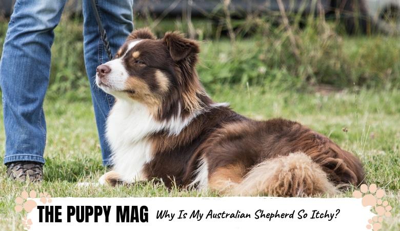 why-is-my-australian-shepherd-so-itchy