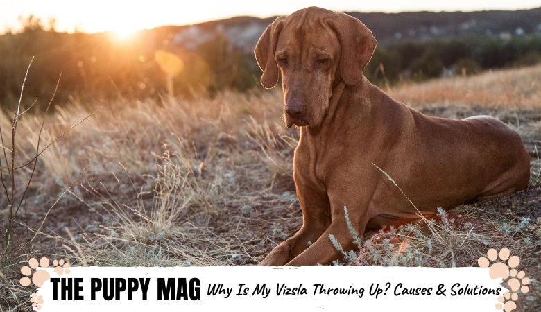 why-is-my-vizsla-throwing-up