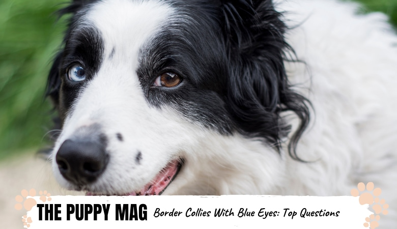 border-collie-with-blue-eyes