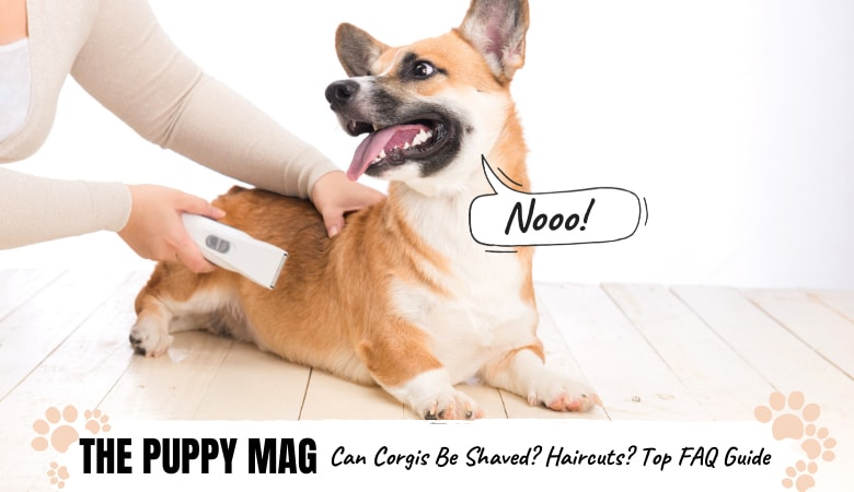 can-corgis-be-shaved